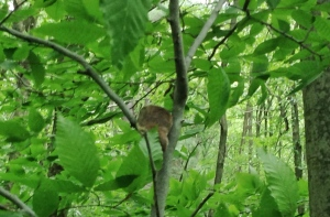 Flying squirrel at Stone Run